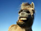 Cavalo mostra dentes