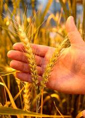 Separar o joio do trigo em espanhol